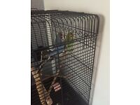 Budgies for sale and new large cage