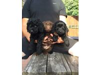 Stunning quality f2 cockapoo girls