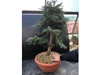 Picea Kosteriana Raw Bonsai Material