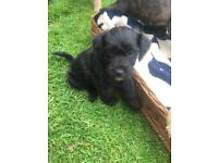 Lakeland/patterdale/schnoodle puppies