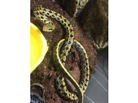 Few snakes corn sale