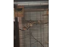 6 zebra finches with cage