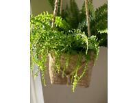 Indoor hanging basket plant