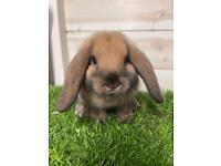 BABY MINI LOP BUNNIES AND PURE BRED LIONHEADS