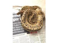 Pinstripe royal python