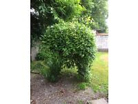 Free to collect, small ornamental tree,