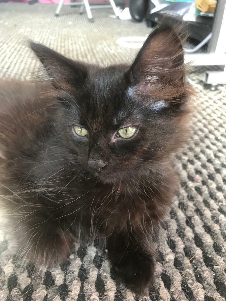 Long Haired Maine Coon Cross Kittens Smoke Chocolate Tabby Male In