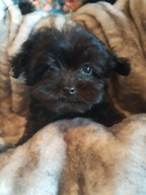 STUNNING LITTER OF PRA/PRCD CLEAR MALTIPOO (MALTESE/TOY POODLE) PUPPIES