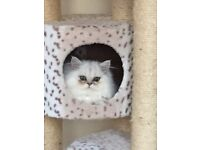 Long hair Persian silver chinchilla kitten £650
