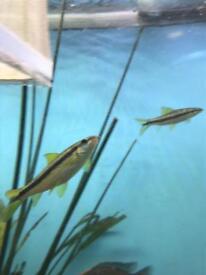 Siamese algae eater fish