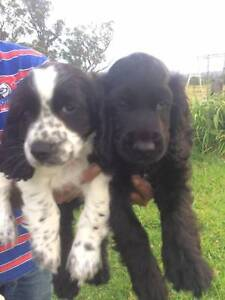 Cocker Spaniel X Puppies Clarence Town Dungog Area Preview