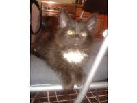 Ragdoll black and white kitten for the right rehome