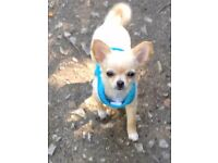 Male Chihuahua 12 months old needs a loving home, £400.