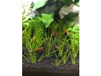 Red cherry shrimps x 40+