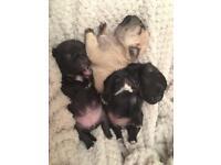 Gorgeous pug puppies