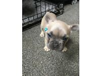 Blue fawn French bulldog puppies possible triple carriers