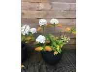 Hydrangea mophead white in a garden pot