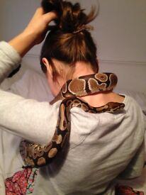 Male Royal Python + Exo Terra Vivarium