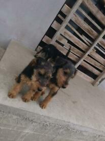 For sale 4 puppy Airedale terrier boys and girl
