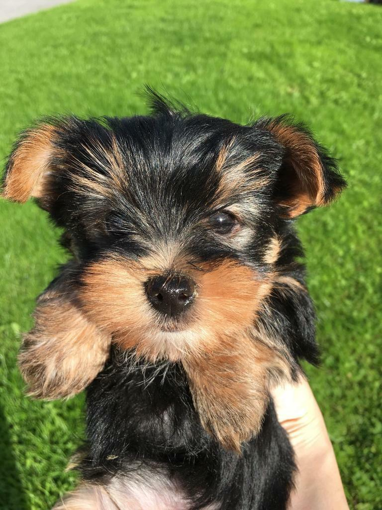 cute miniature yorkshire terrier puppies (mini yorkie pups ...