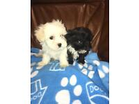 Lhasa Apso/toy poodle pups