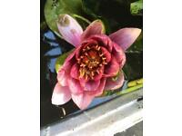 Mixed water pond lily