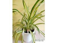 Spider Plant in White Ceramic Vase