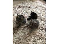 British short hair x rag doll kittens