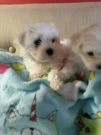 Beautiful Maltese Puppies for sale