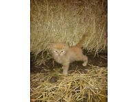 Adorable male ginger kitten