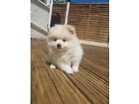 Gorgeous XXS White Miniature Pomeranian Puppy Girl 10 Weeks Old Ready Now