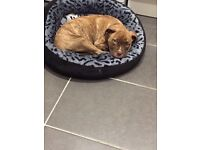 Mastiff English 3 months