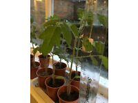 20cm Tomato 'Sweet Million' Seedling