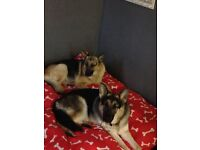 Stunning German shepherd puppies all girls no papers but both parents can be seen