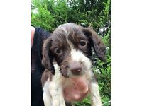 Female Springer Spaniel Puppy