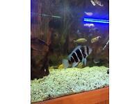 Malawi cichlids, fronta, catfish, plec