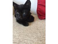 Gorgeous Male Kitten For Sale
