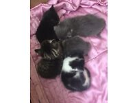 Kittens for Sale - Ready On 15th May.