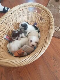 4 jack Russell's puppies