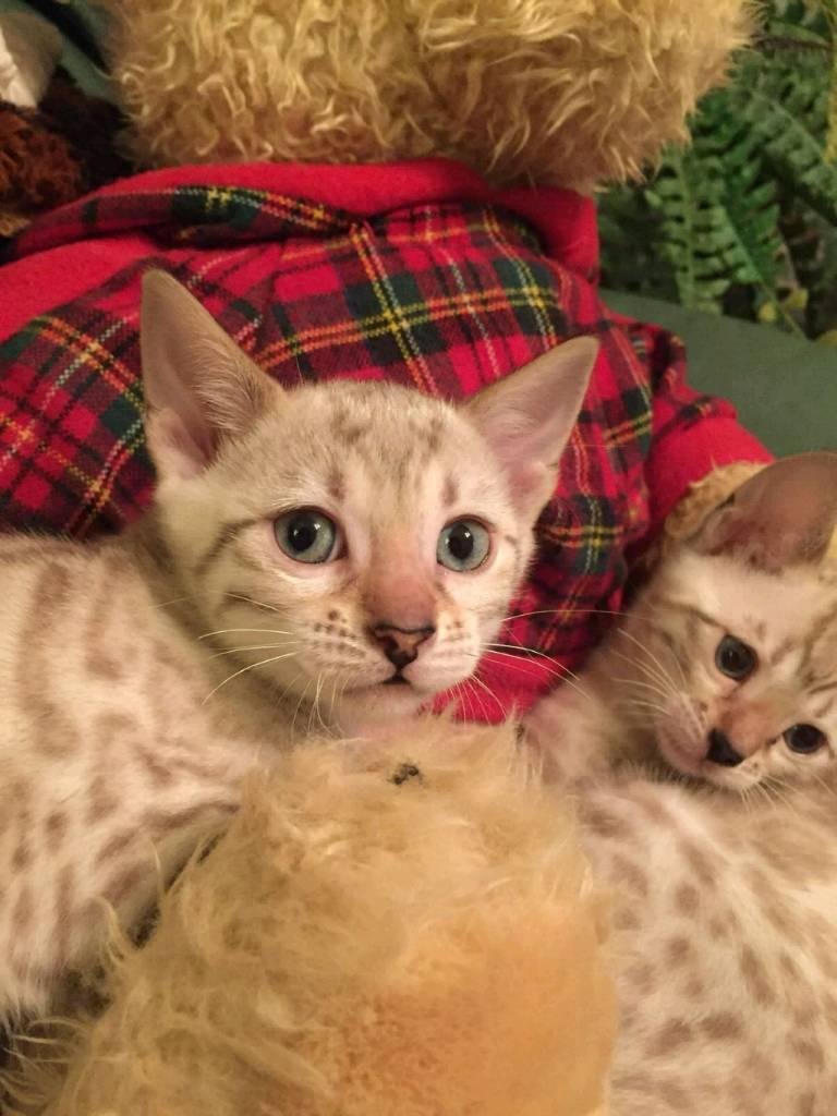 Pedigree snow Bengal kittens