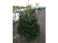 NON DROP CHRISTMAS TREES, ALL SIZES AVAILABLE Nr Norwich. Coffee Shop, Gift shop.