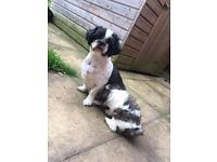 Beautiful Male Malshi Pup For Sale