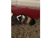 Male & female guinea pigs