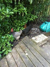 Free - 3 laying chickens - to good home