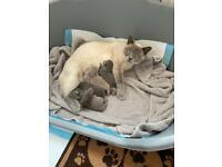 British shorthair kittens GCCF registered