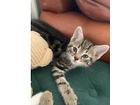 2 x beautiful & affectionate Boy Kittens