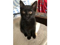 A Cute black tabby maine coon female kitten+ all accesories