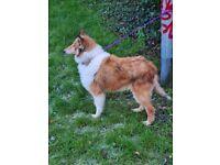 Lassie for sale