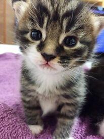 3 Fluffy Kittens For Sale
