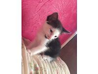 Kitten 1 girl